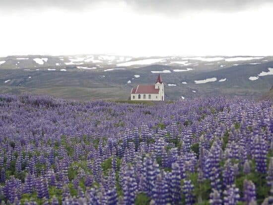 Lupine Flowers in Iceland In Spring with Icelandic church