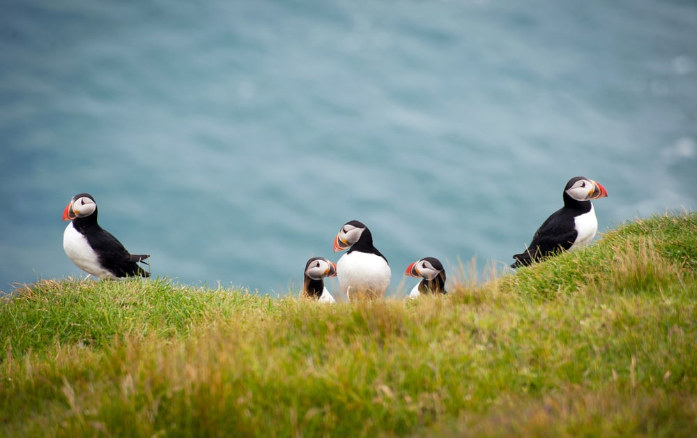 puffins on the westman islands in iceland