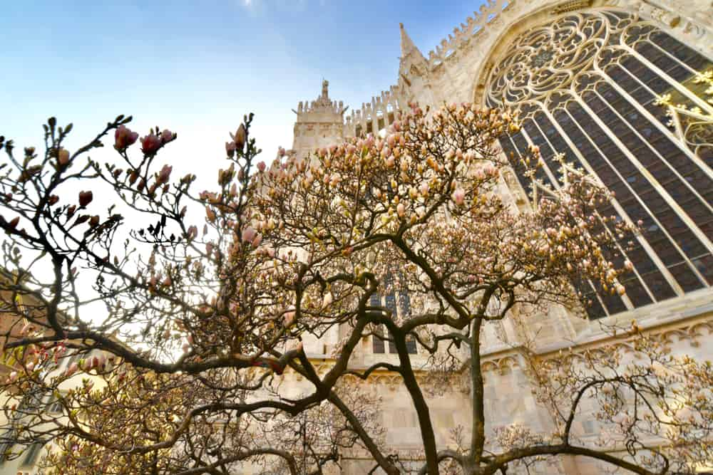 Flowering trees outside the Milan Cathedral. When planning where to stay in Milan, make you don't miss out on this amazing sight