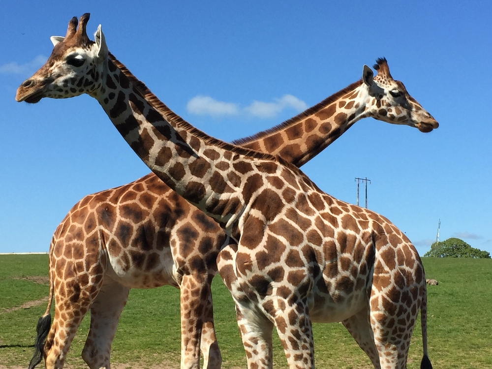 Stop and see the giraffes at Fota Wildlife Park, one of the most fun things to do in Cobh, Ireland