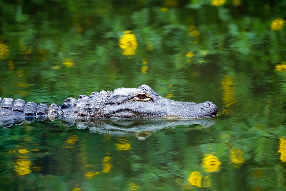 Florida Road Trip Everglades Alligator