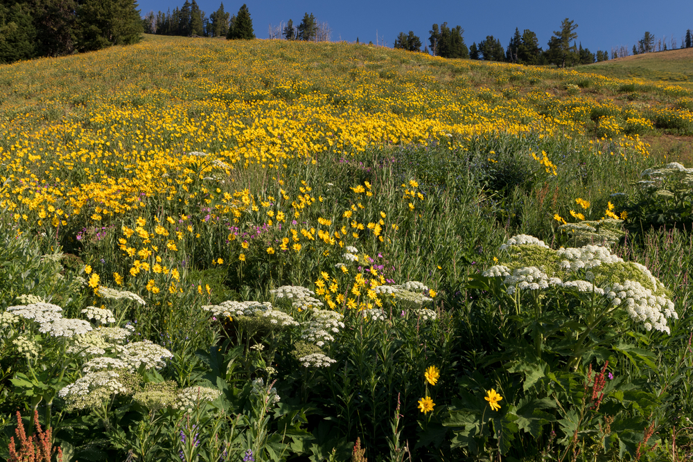 Photo of wildflowers at Dunraven Pass