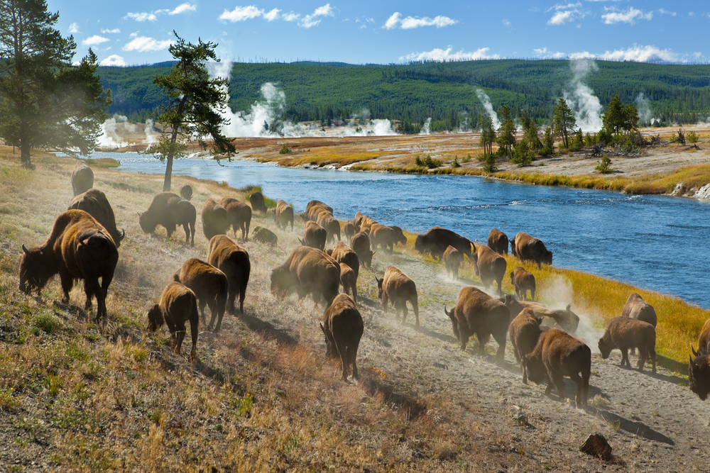 Photo of wildlife around Midway Basin, a great Yellowstone road trip stop.