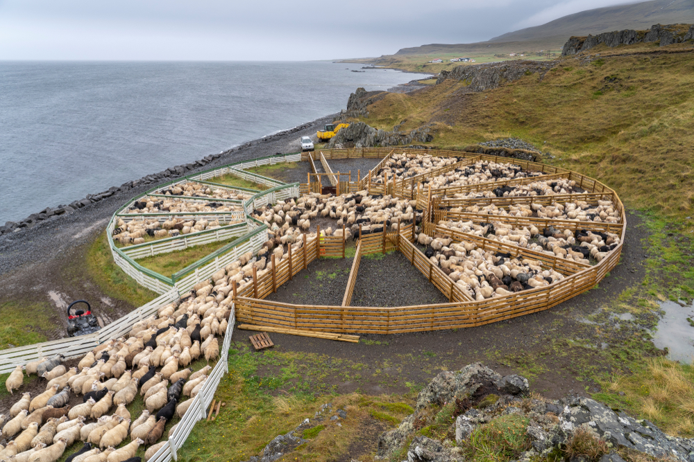 the annual sheep roundup during your trip to Iceland in September