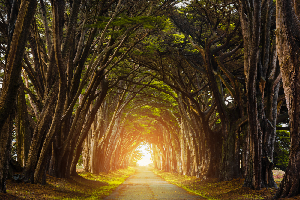 the Point Reyes Cypress Tree Tunnel on one of the best road trips in the USA
