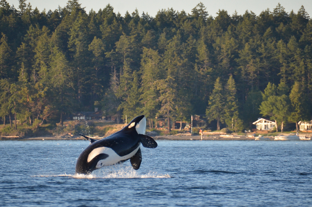 Whale watching is one of the best things to do in Washington State!