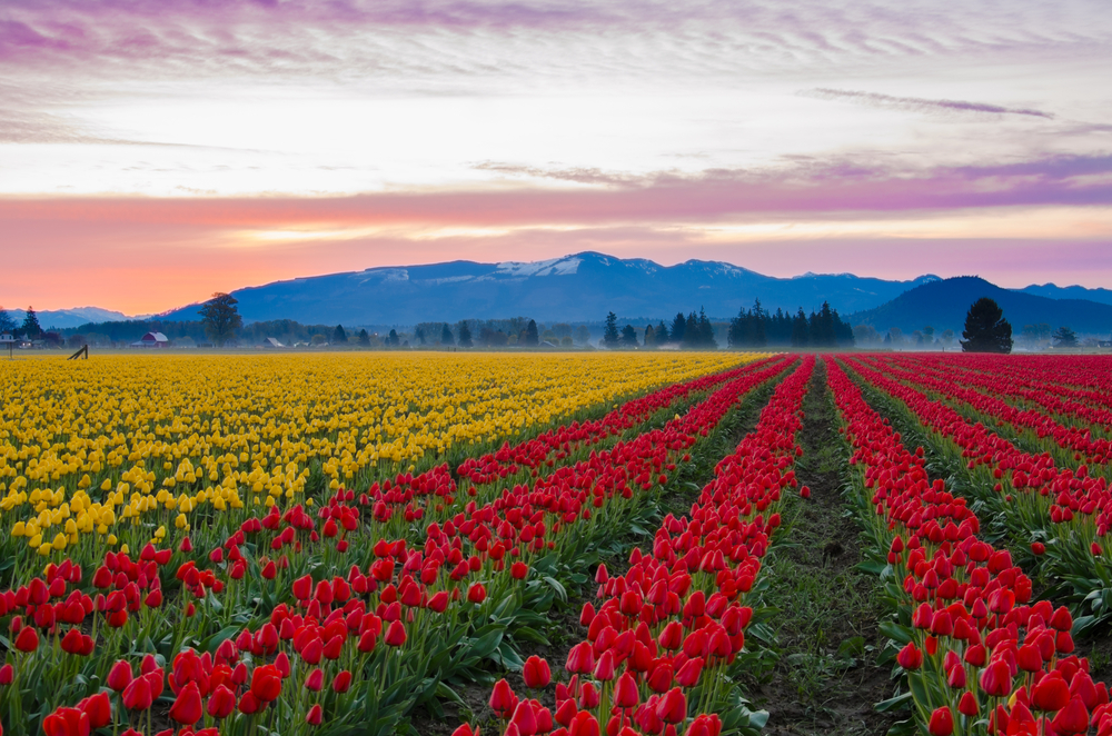 The Tulip Festival in Skagit Valley is full of vast colors and flowers