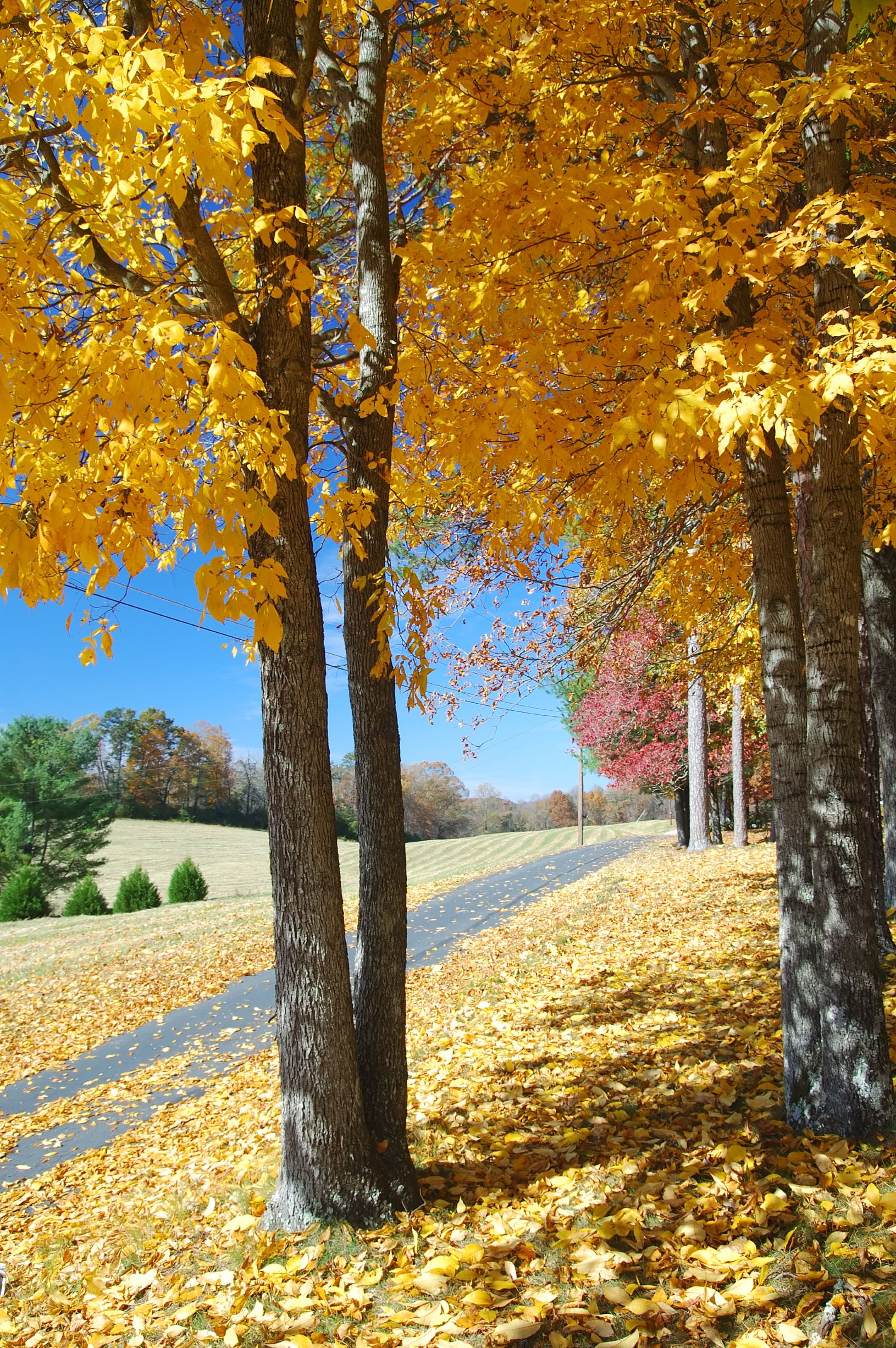 Photo of a stunning tree in Helen with golden yellow leaves during Fall in Georgia.
