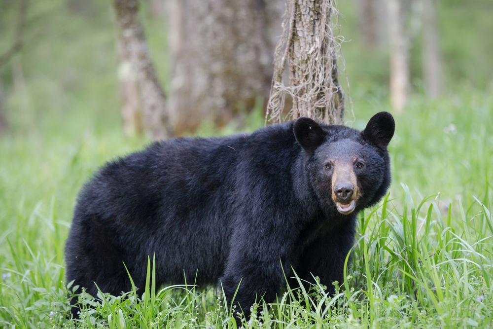 Tennessee Road Trip Black Bear