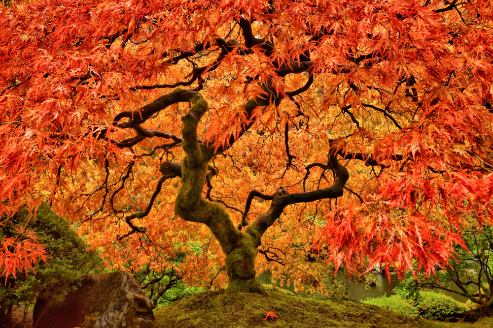 A stunning orange and yellow Japanese maple tree at the Japanese Gardens in Portland, Oregon. Visiting this garden is one of the best things to do in Portland, Oregon.