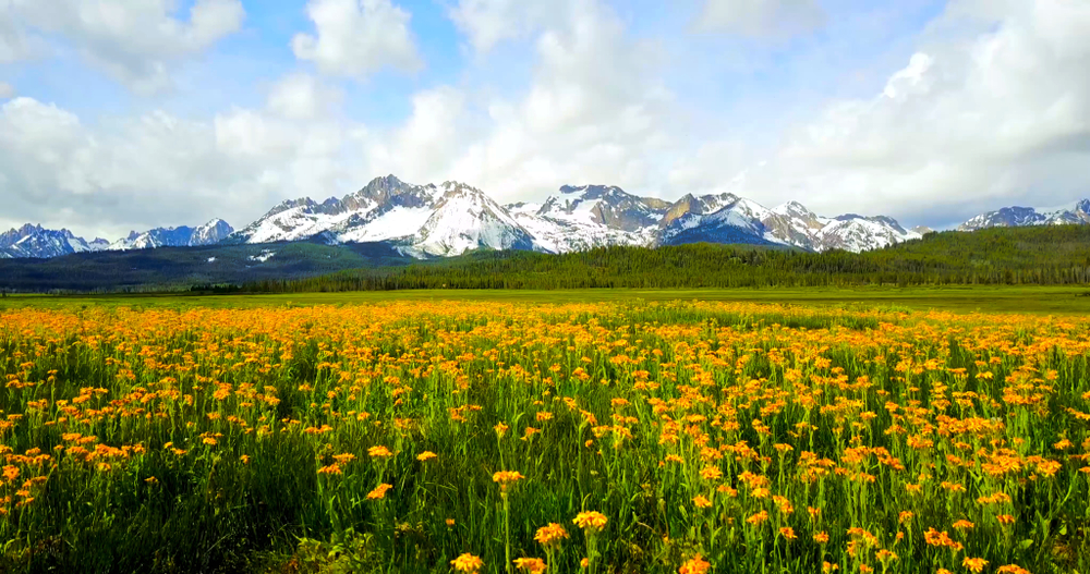 Field of yellow flowers with Sawtooth Mountains in the distance