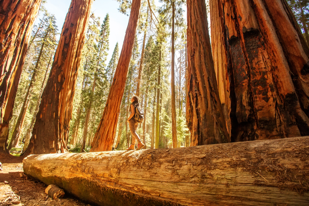 woman hiking amongst tall trees in Sequoia National Park