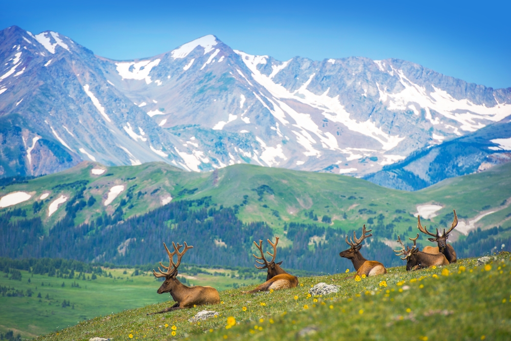 Elk sitting on a grassy hill with mountains in the distance at Rocky Mountain National Park