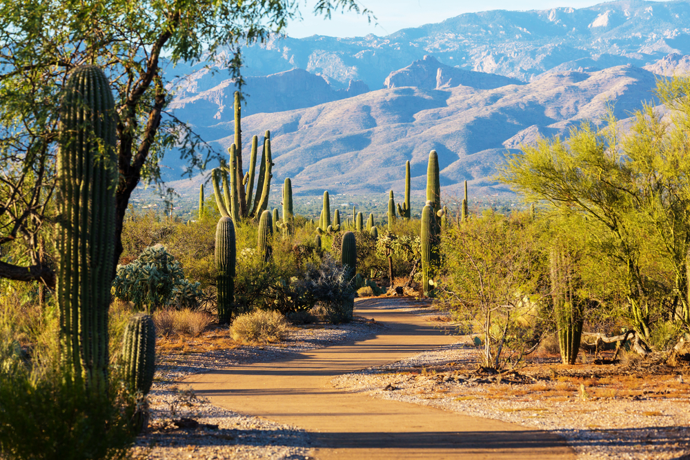 A trail surrounded by cacti at Saguaro National Park. In the background you can see a large mountain range.