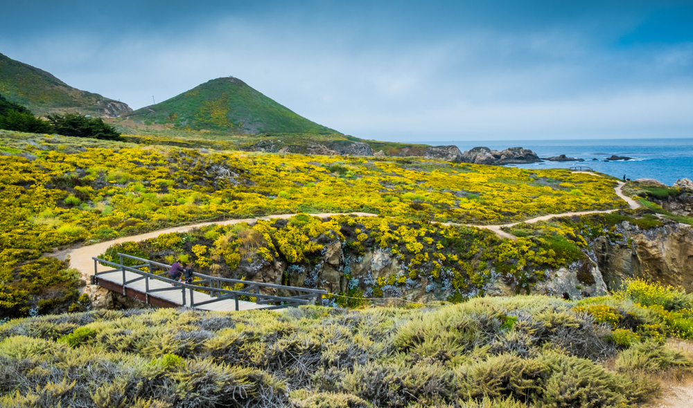 A trail through a field of yellow flowers in Garrapata State Park. You can see a pointy hill and the pacific ocean in the distance. One of the best stops on a Big Sur road trip.