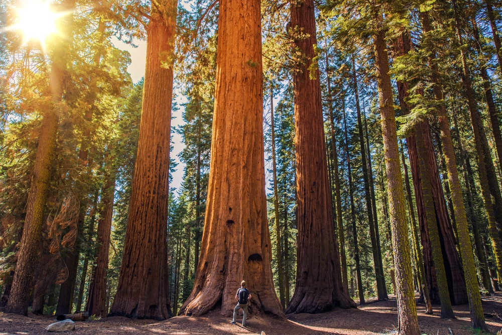 A person in hiking gear standing in front of a massive ancient tree in the Redwood National Park in California. The area is full of massive Redwoods and you can see the sun shinning down through the trees.