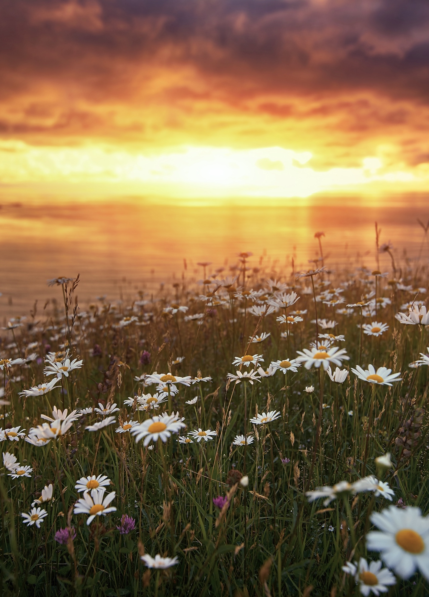 A field of white flowers with yellow centers along the shore of a body of water in West Newfoundland. You can also see a few smaller purple flowers. The sun is setting on the water and the sky is yellow,   orange, and red.